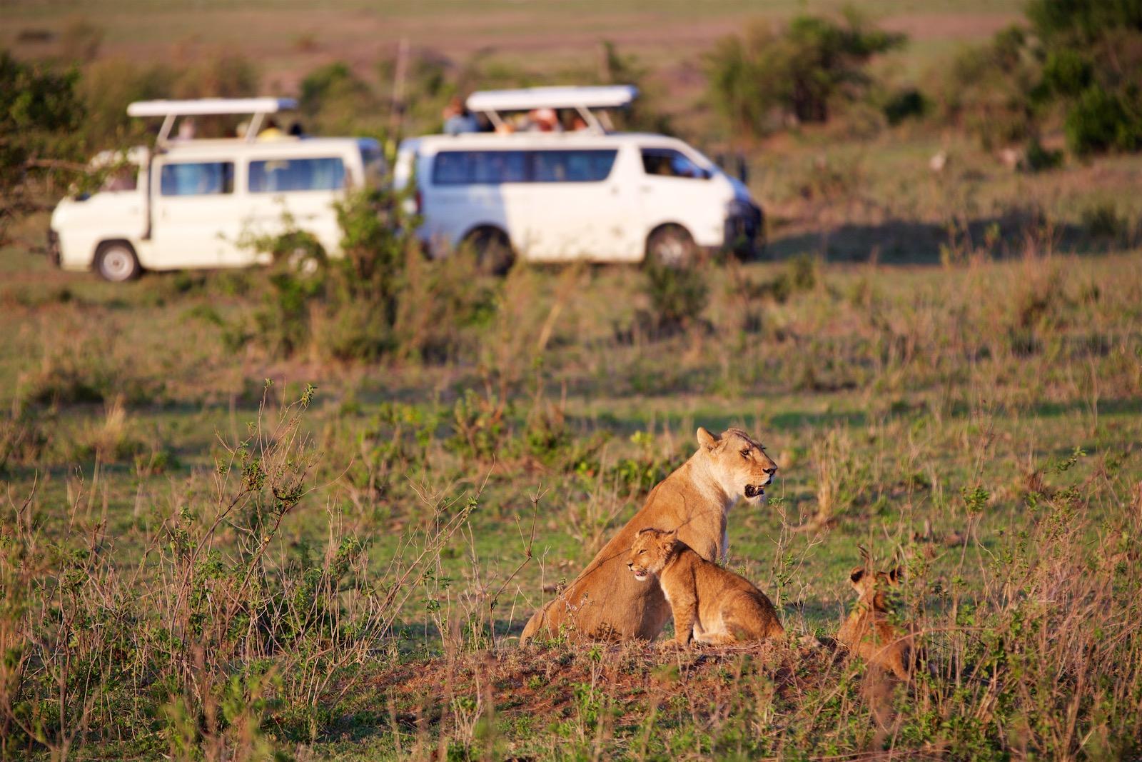 Løve med unger