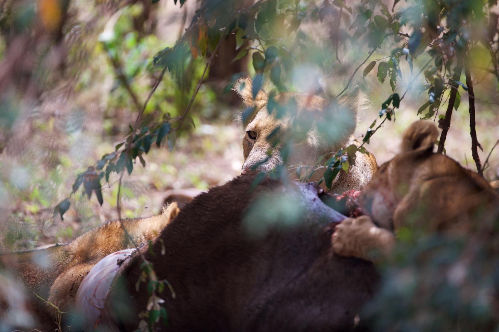 Løve spiser gnu