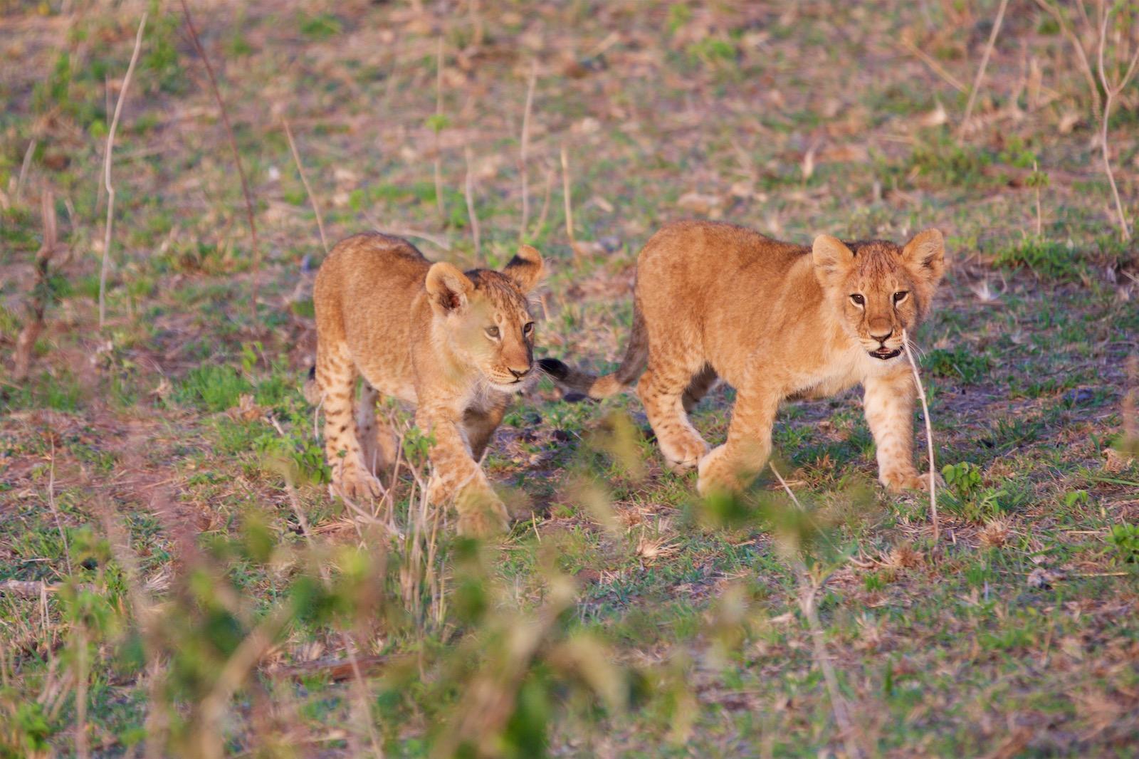 Løveunger Kenya