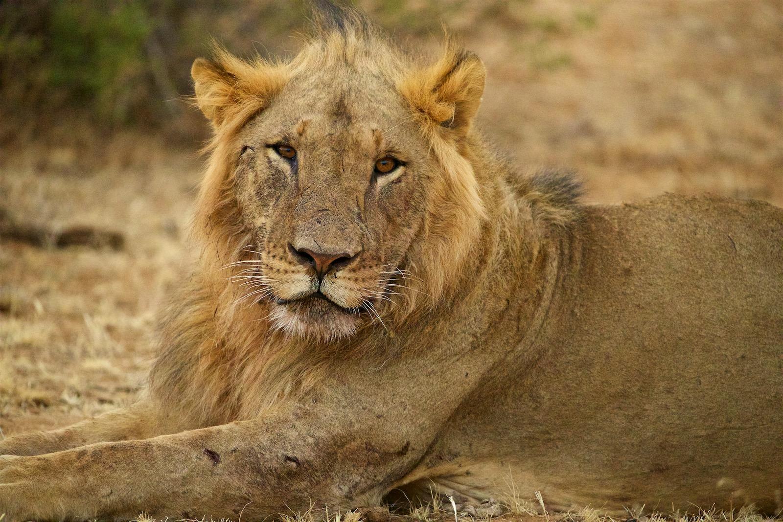 Loeve safari i Afrika