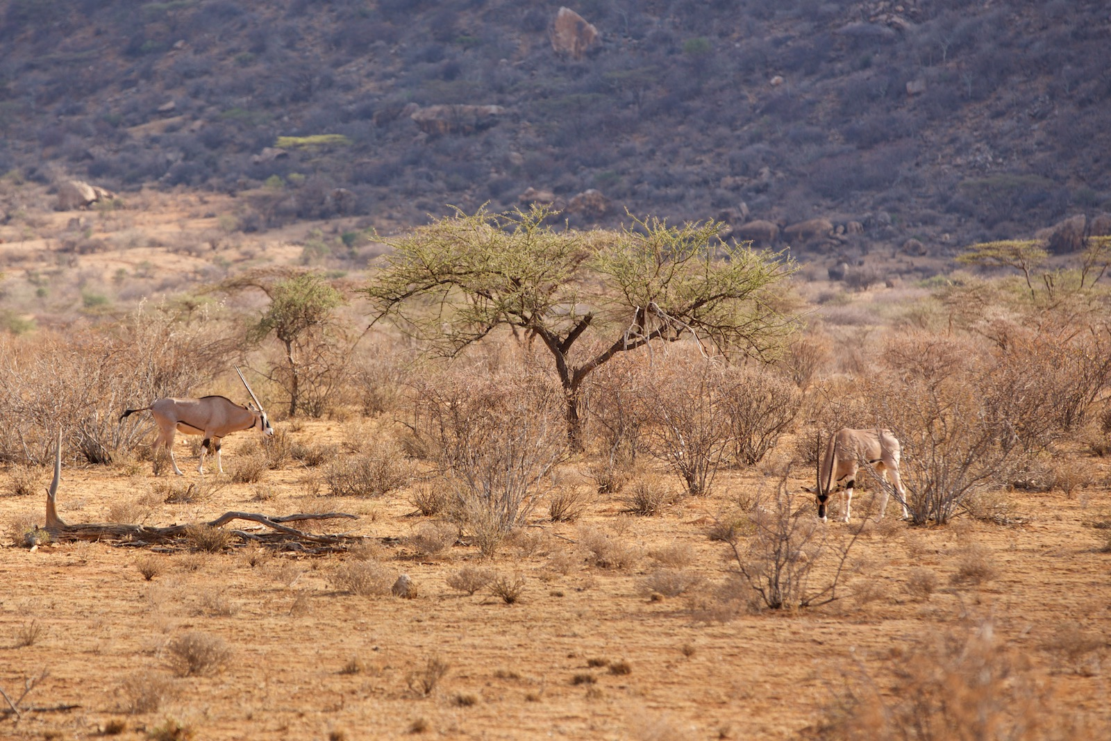 Oryx Kenya