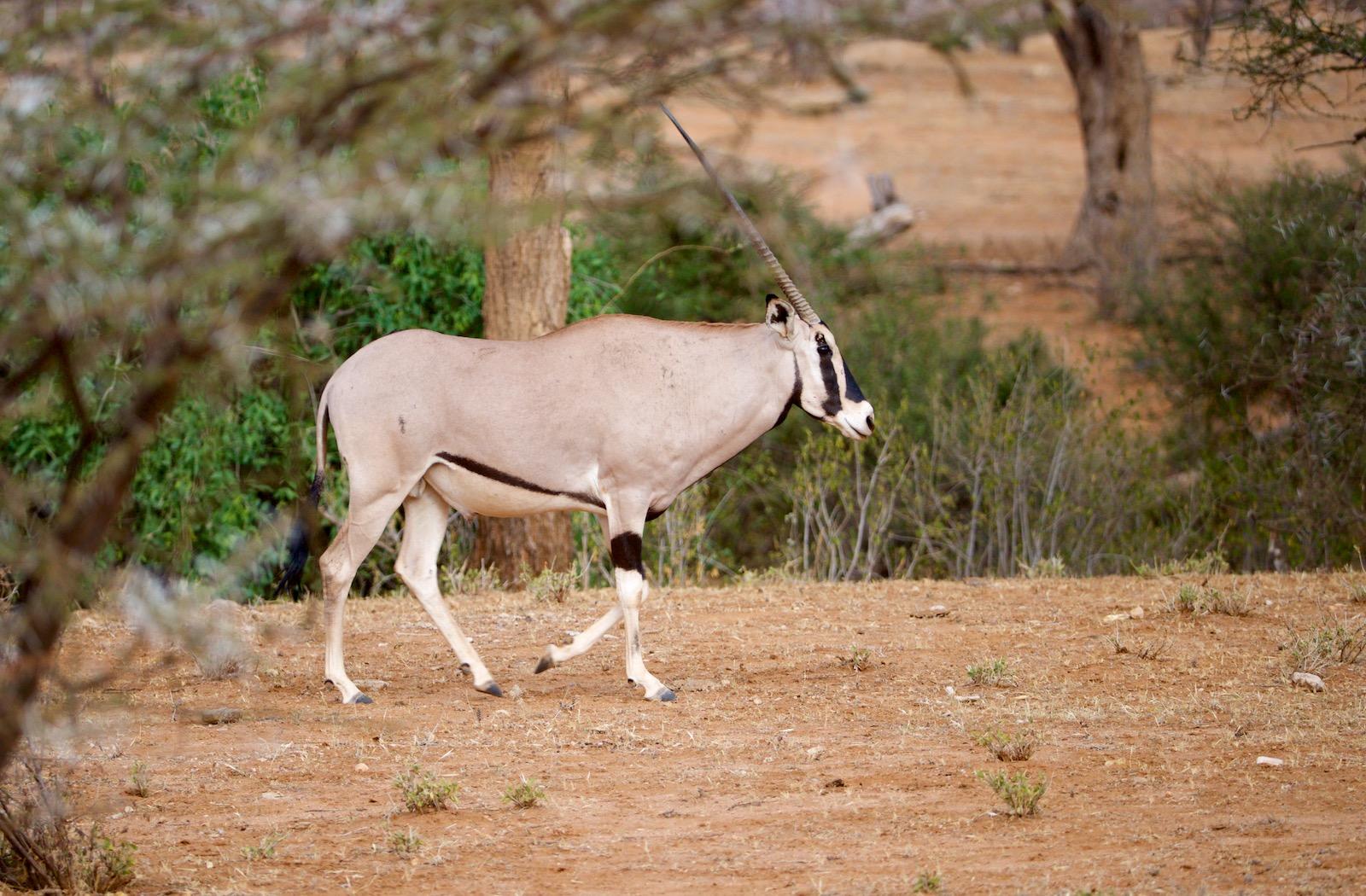 Oryx i Samburu Kenya
