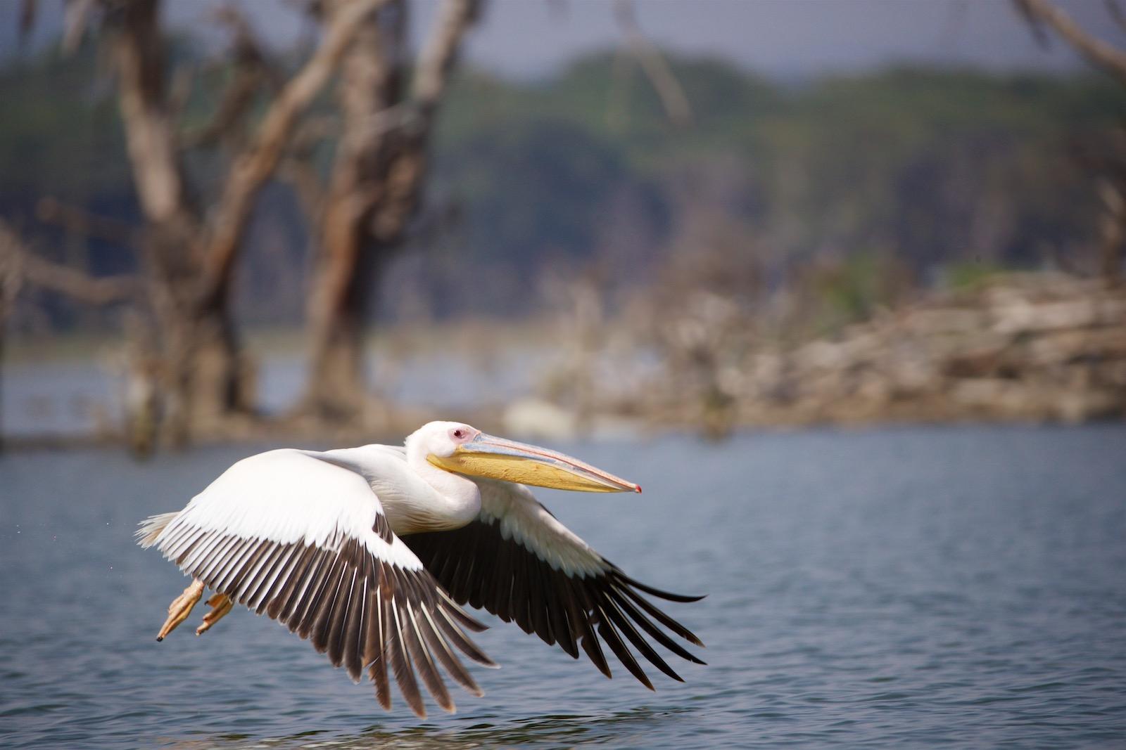 Pelikan i Kenya Afrika