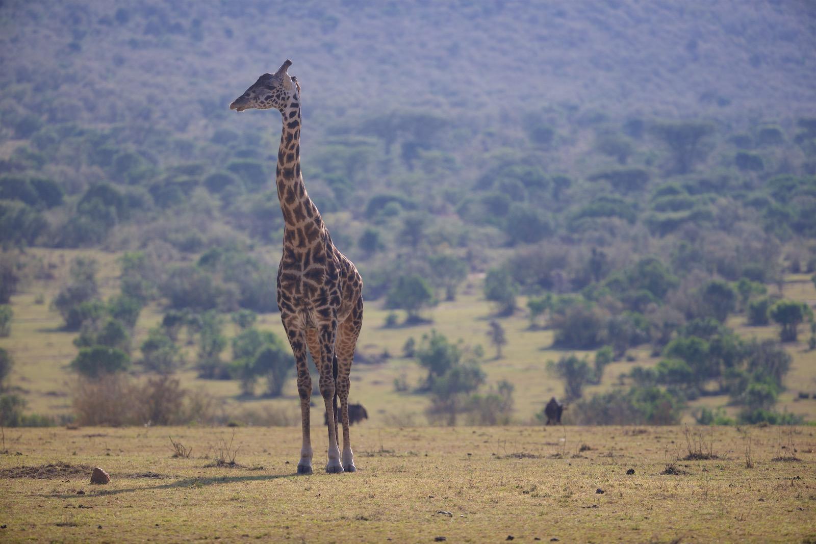 Giraf safari i Afrika
