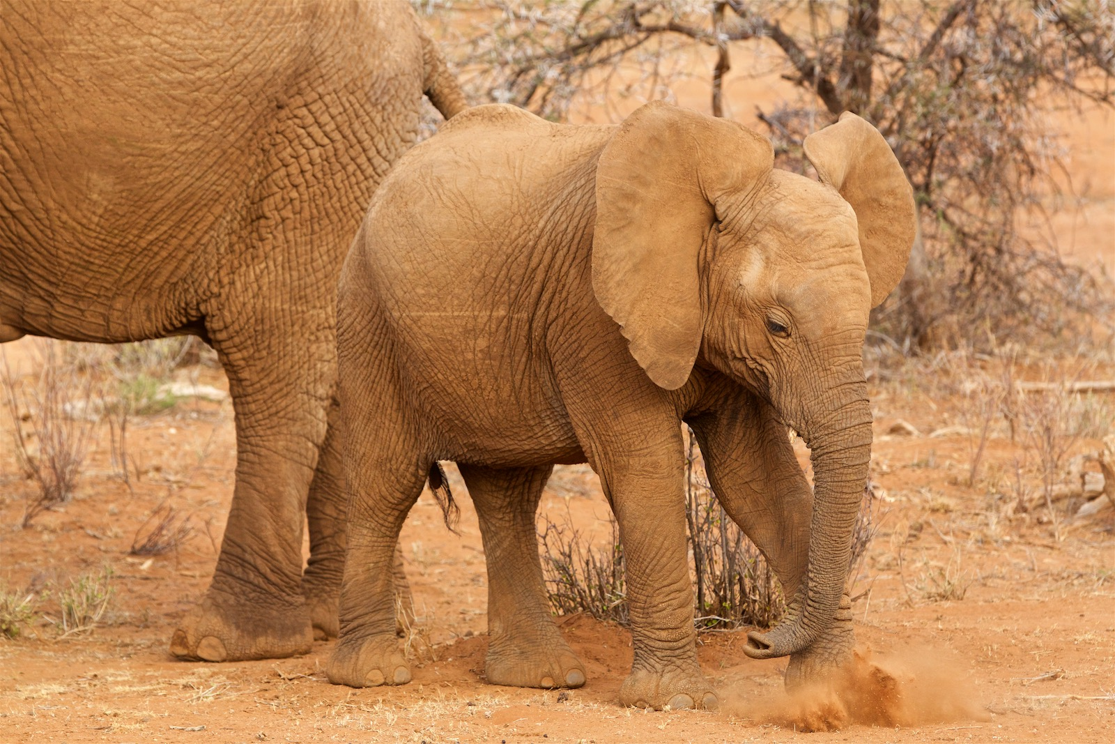 Ung elefant i Kenya