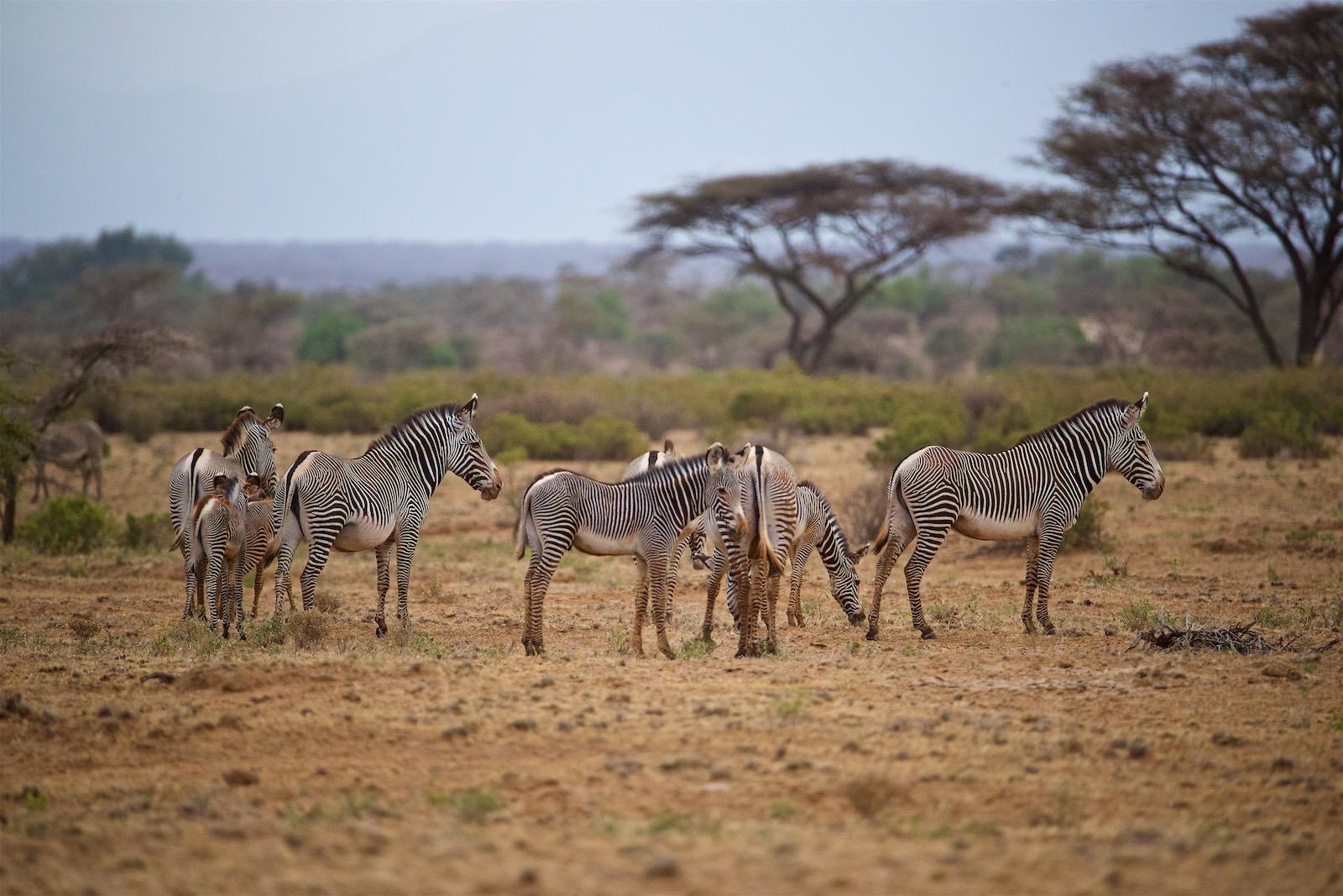 Zebra i Samburu Kenya