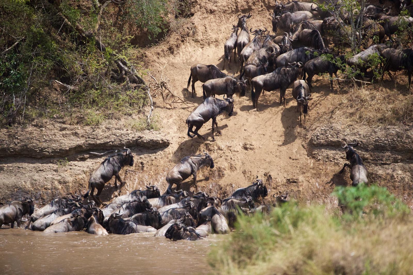 Den store migration i Kenya