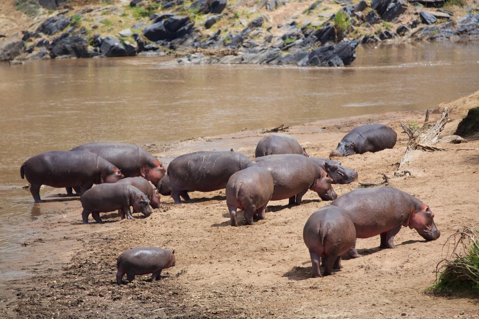 Flodheste Kenya