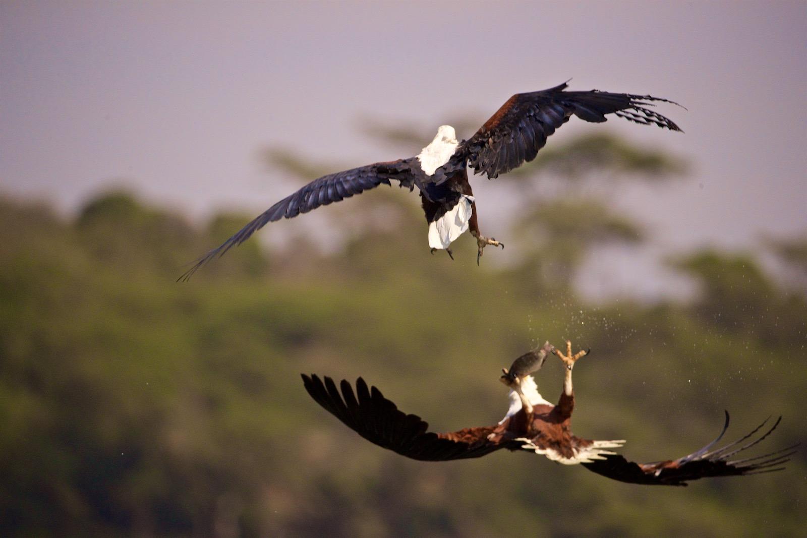 Fugleliv Afrika
