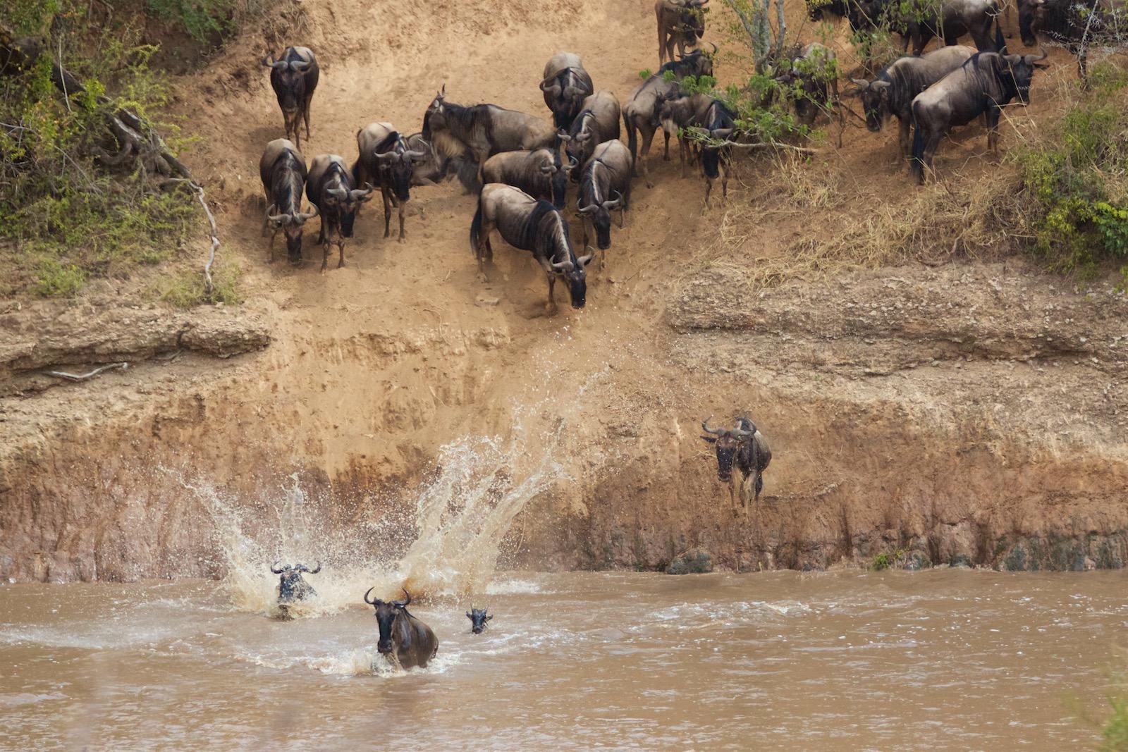 Gnu krydser Masai Mara flod Kenya