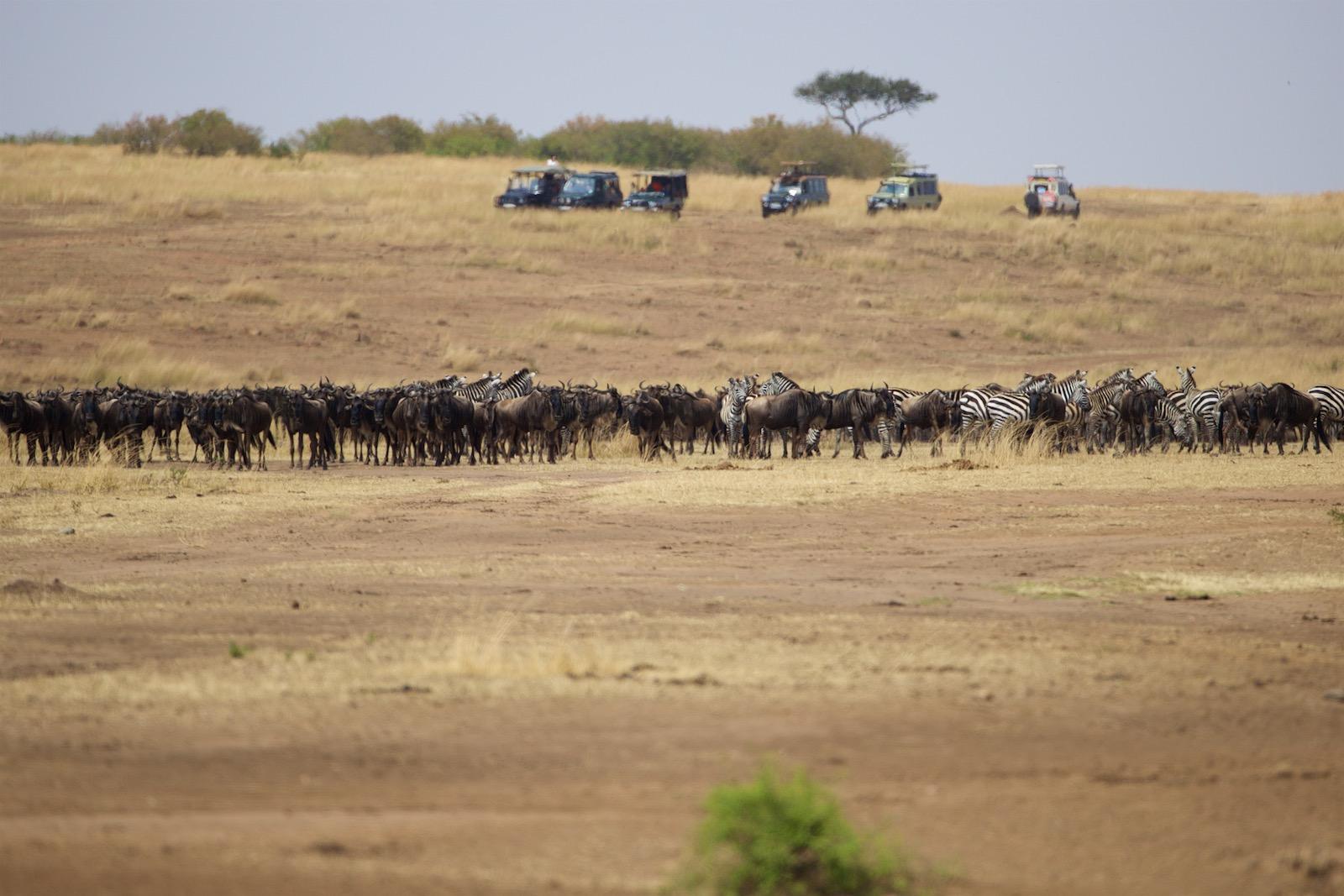 Gnuer ved Masai Mara floden