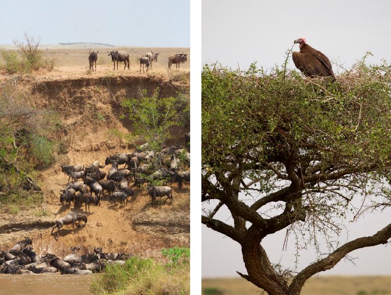 Masai Mara gnuerne krydser floden