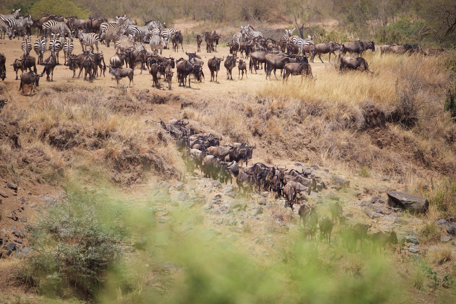 Migration - gnuerne krydser floden i Kenya